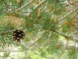 Pine by ThroughTheEyePiece