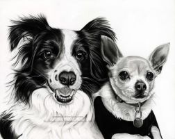 Border Collie and Chihuahua  Pet Portrait by GemmaFurbank