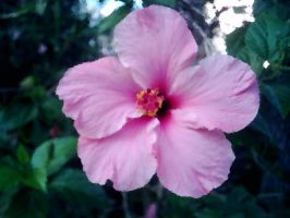 pink blossom. by insomniana