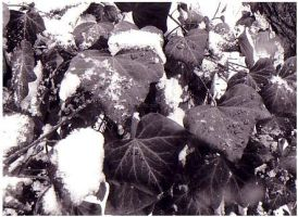 Wild Winter Ivy Vines in Snow by snagglepuss