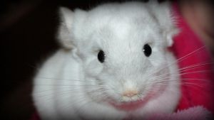 White Chinchilla by Michelle-xD