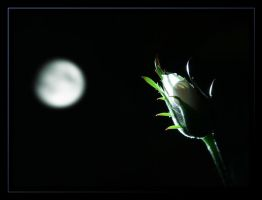 Moonlit Rose - 2 by Capt-Morgan