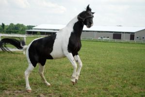 Black Tobiano 11 by horsiexstock