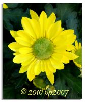 Yellow mums - 2 by bp2007