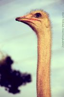 Ostrich by st277