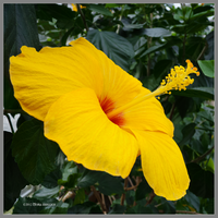 Golden Hibiscus by Mogrianne