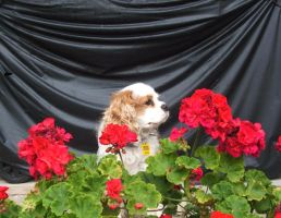 The Dog and the Geraniums by Darth-Sparrowhawk