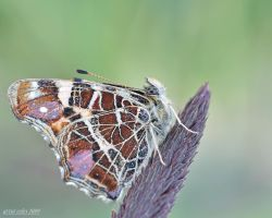 250.Butterfly by Bullter