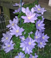 Clematis by GothicAmethyst