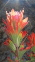 indian paintbrush II by adderx99