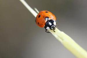 The Ladybug by Missukka