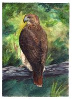 Red Tailed Hawk Card by windfalcon