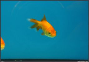 Fish Stock 0037 by phantompanther-stock