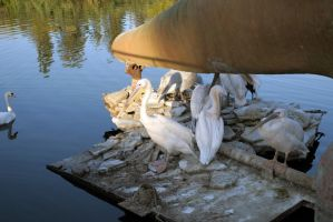 Zoo Pelicans stock #4 by croicroga