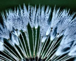 Dandelion in blue by sherln