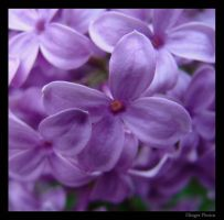 Lilacs by deholf16