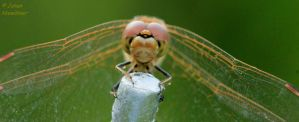 Dragonfly 8 by jochniew