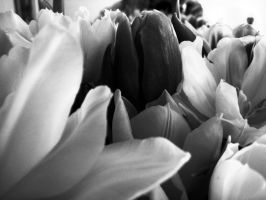 My black and white tulip by Paniya