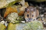 mouse 3 by brijome