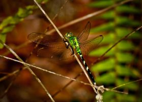 Alafia River - Dragonfly 05 by Dretography