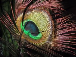 Peacock feather by Nemiflora