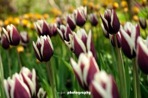 Tranquil Tulips by Shalloway