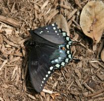 The death of a butterfly by Insect-Lovers-Club