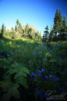 Mountain Wildflowers by ThisWomanWanders