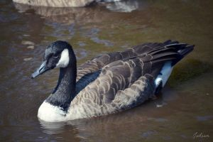 Canadian Goose by JuReam