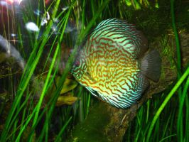 discus fish by fa-stock