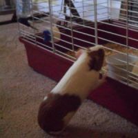 Lavender, a Guinea Pig Yearning For Home by raiku321