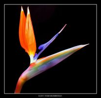 BIRD of PARADISE 3 31 11 by THOM-B-FOTO