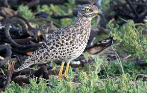 Spotted Dikkop by PhilippeduPreez