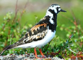 Ruddy Turnstone 02 by nordfold