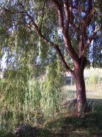Weeping Willow Stock 4 by SimplyBackgrounds