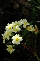 Primrose Light and Shade by EarthHart