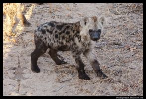 Spotted Hyena by Psychopomp16