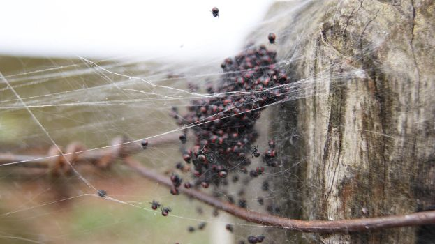 Lil Spiders by thigothi