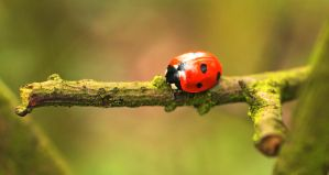 Ladybird on a mossy twig by Wadyface