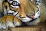 Baby tiger II by fromfairyland
