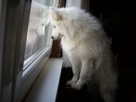 Samoyed Nala on the widow by Nal1a