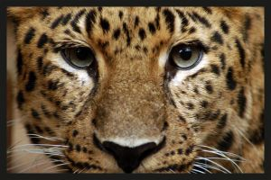 Leopard 1 by Quok1mb0