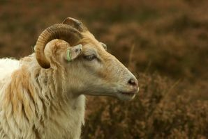 Drenthe Heath Sheep - profile by steppeland