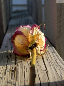Dried Rose by Elaira