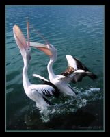 Pelicans at Play by iamnoodles