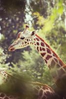 Giraffe. by PlaceInTheDirt