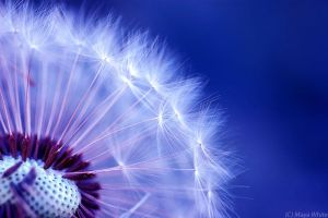 dandelion wings II by mayawhite