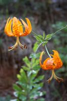 Tiger Lily 2 by CreativeExcess