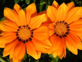 Orange Flowers by feak