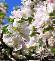 Apple blossom by emshh